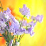 スイートピーの紫色の品種について