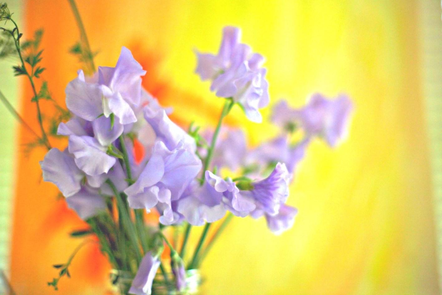 スイートピー 紫 品種