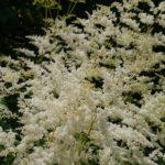アスチルベ・カプチーノの花は何色?特徴とは?