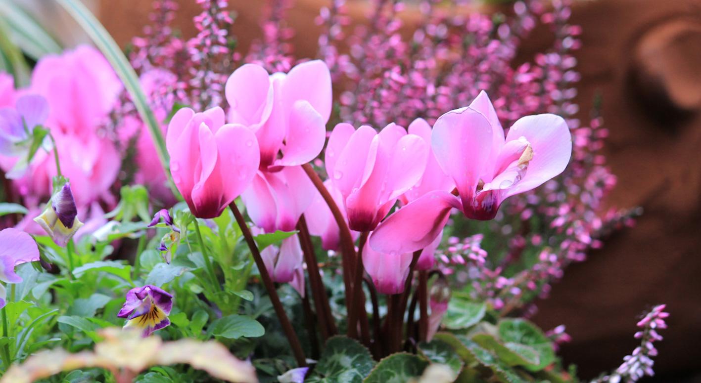 シクラメン 花が咲かない 原因