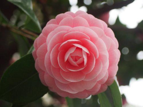 椿 ピンク 種類 名前
