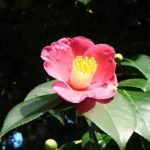 赤色の椿の品種をご紹介!