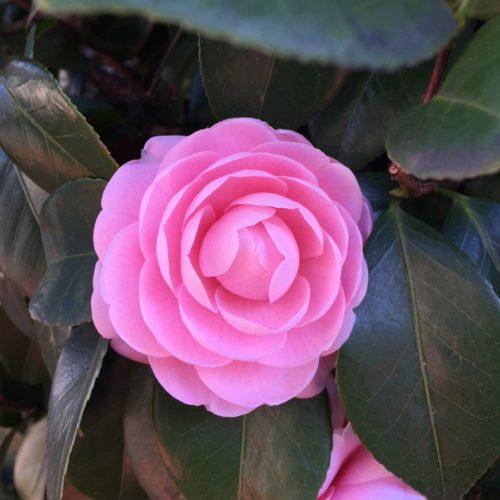 椿 茶花 種類 時期