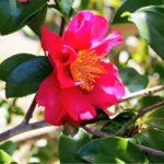 椿と牡丹と山茶花の違いについて
