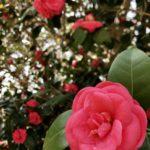 椿の品種玉之浦の育て方と開花時期について