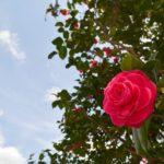 椿の栽培の土選びについて。酸性がいい!?
