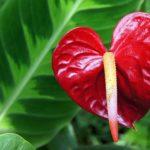 肉穂花序のアンスリウムの葉っぱの大きさや特徴とは?