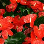 赤色のアンスリウムの花言葉の意味や由来とは?