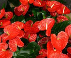 アンスリウム 花言葉 赤