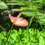 観葉植物のアンスリウムの花のおすすめな増やし方とは?