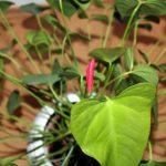 アンスリウム・ピンクチャンピオンは何色の花?どんな種類があるの?
