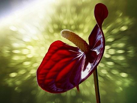アンスリウム フーケリー 花