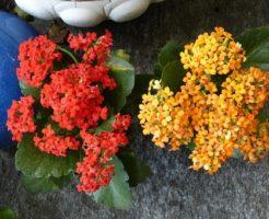 カランコエ 八重咲き 育て方