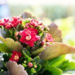 カランコエ フィフィは何色の花?特徴は?
