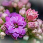 カランコエ リンリンは何色の花?特徴は?