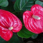 アンスリウムの開花時期はいつ頃?見頃の季節とは?