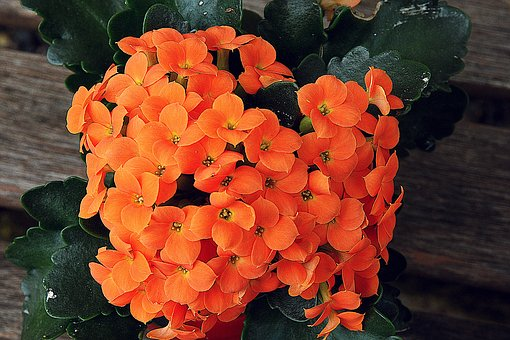 カランコ エベハレンシス 種類
