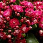 【カランコエの葉っぱが赤い?原因と対策方法とは?】