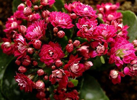 カランコエ 葉っぱ 赤い