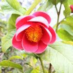 椿の牡丹咲きの品種について