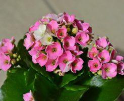 カランコエ 花芽がつかない