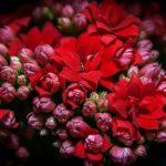 カランコエ シクラメンは何色の花?特徴は?