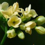 カランコエを地植えで育てる方法や注意点とは?