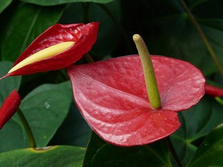 アンスリウム 花言葉 緑