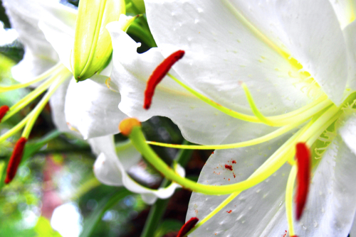 カサブランカ 花 終わり