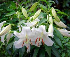 カサブランカ 花 香り
