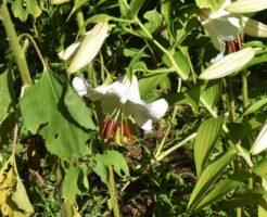 カサブランカ 花束 値段
