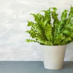 観葉植物のアスプレニウムにはどんな種類がある?特徴とは?