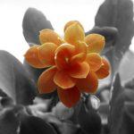 カランコエ 白銀の舞は何色の花?特徴は?