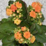 カランコエ ベハレンシスは何色の花?特徴は?