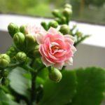 カランコエの植え替えは秋と冬、どっちがおすすめ?