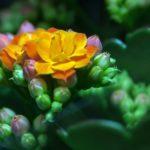 カランコエの花がら摘みの方法ややり方のコツとは?