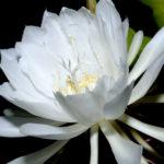 月下美人の花の色は何色が人気!?