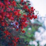 観葉植物のカポックの花言葉の意味や由来とは?