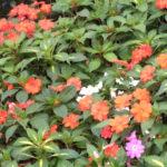 クロサンドラの開花時期はいつ頃の季節?