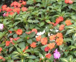 クロサンドラ 開花 時期