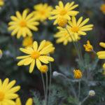 ユリオプスデージーの花の開花時期はいつ頃?