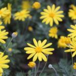 ユリオプスデージーの花が咲かない原因は何!?