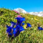 リンドウの葉が枯れる原因と対策法について