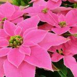 ポインセチアのピンク色の育て方