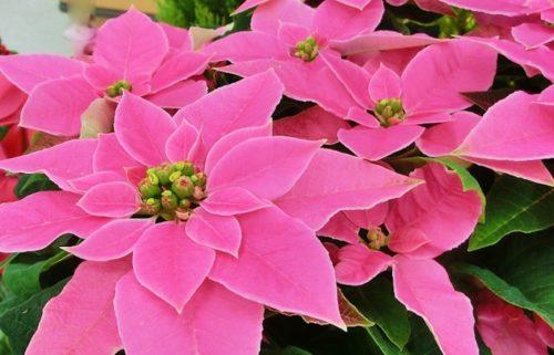 ポインセチア ピンク 育て方