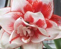 アマリリス ピンク 種類