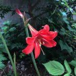 アマリリスの花が咲かない原因や対策方法について
