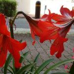 アマリリスの葉の病気について。赤いのは何の病気なの?