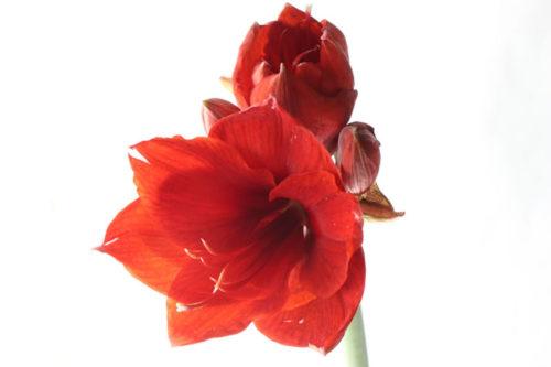 アマリリス 種類 赤
