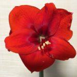 アマリリスの花を切るタイミングや切り方について